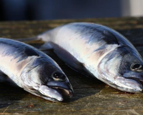 Laukvik Lofoten Makrele